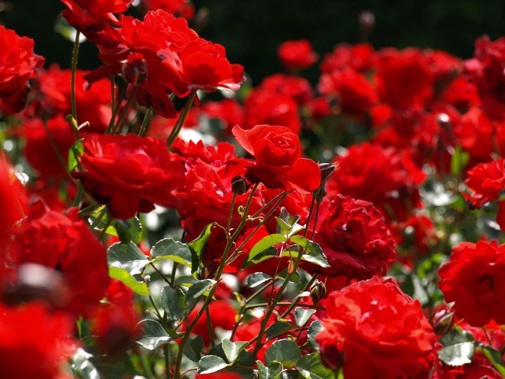 rosas-sant-jordi